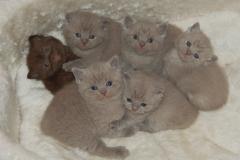 LILAC & CHOCOLATE KITTENS 6-11-2008 002