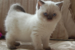 MABLES BLUES-COOKIES CHOC POINT-ROLO CHOC TABBY POINT 25-05-2014 069