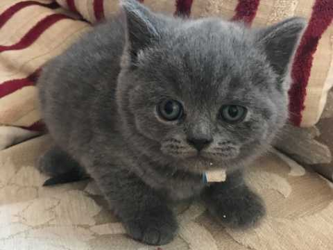 blue kittens for sale essex